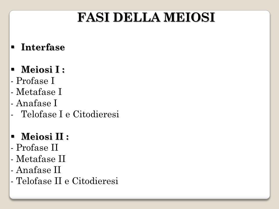 Interfase Interfase Meiosi I : Meiosi I : - Profase I - Metafase I - Anafase I -Telofase I e Citodieresi Meiosi II : Meiosi II : - Profase II - Metafase II - Anafase II - Telofase II e Citodieresi FASI DELLA MEIOSI