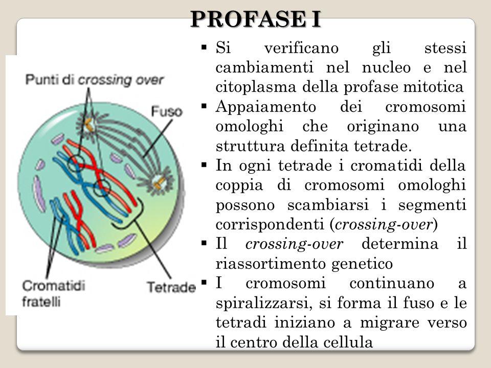 Si verificano gli stessi cambiamenti nel nucleo e nel citoplasma della profase mitotica Appaiamento dei cromosomi omologhi che originano una struttura definita tetrade.