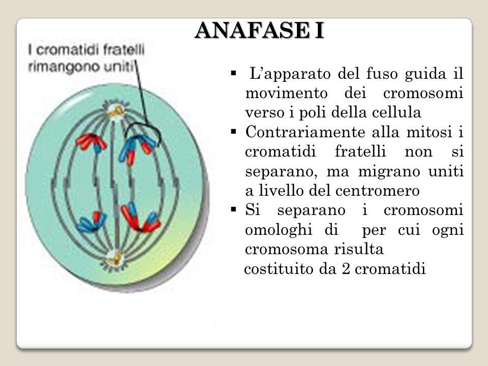 Lapparato del fuso guida il movimento dei cromosomi verso i poli della cellula Contrariamente alla mitosi i cromatidi fratelli non si separano, ma migrano uniti a livello del centromero Si separano i cromosomi omologhi di per cui ogni cromosoma risulta costituito da 2 cromatidi ANAFASE I