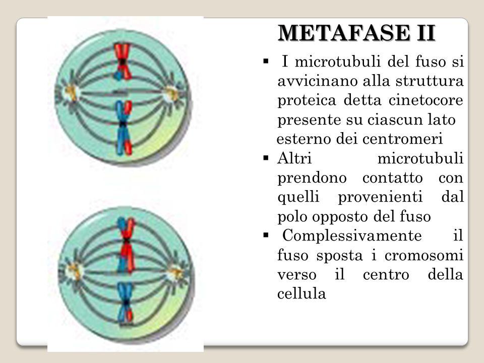 I microtubuli del fuso si avvicinano alla struttura proteica detta cinetocore presente su ciascun lato esterno dei centromeri Altri microtubuli prendono contatto con quelli provenienti dal polo opposto del fuso Complessivamente il fuso sposta i cromosomi verso il centro della cellula METAFASE II