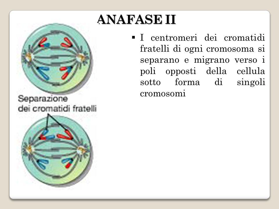 I centromeri dei cromatidi fratelli di ogni cromosoma si separano e migrano verso i poli opposti della cellula sotto forma di singoli cromosomi ANAFASE II