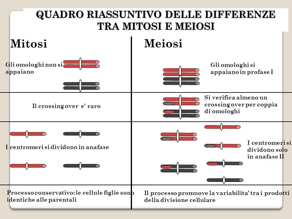 QUADRO RIASSUNTIVO DELLE DIFFERENZE TRA MITOSI E MEIOSI Gli omologhi si appaiano in profase I Gli omologhi non si appaiano Si verifica almeno un crossing over per coppia di omologhi Il crossing over e raro I centromeri si dividono solo in anafase II I centromeri si dividono in anafase Processo conservativo: le cellule figlie sono identiche alle parentali Il processo promuove la variabilita tra i prodotti della divisione cellulare Mitosi Meiosi