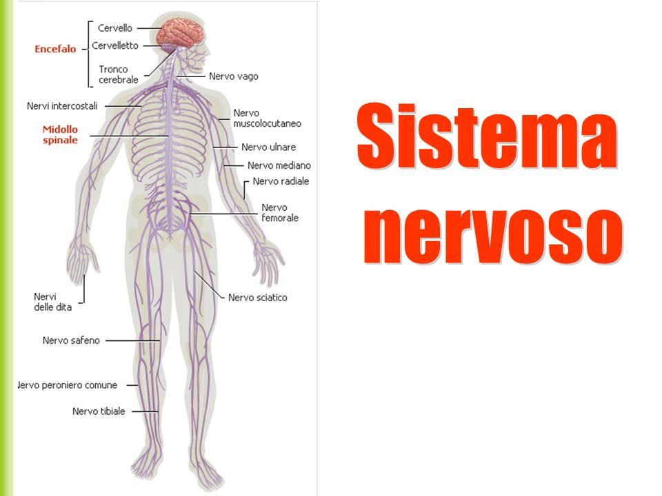 I due emisferi sono collegati mediante il corpo calloso attraverso il quale passano le informazioni reciproche tra le due metà del corpo.