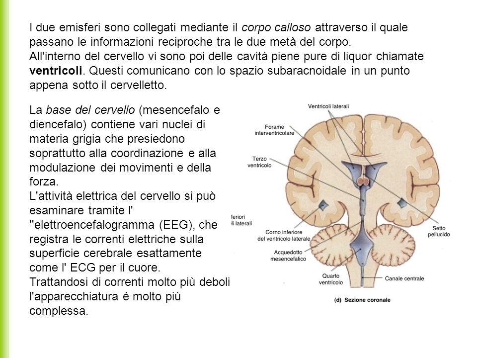 I due emisferi sono collegati mediante il corpo calloso attraverso il quale passano le informazioni reciproche tra le due metà del corpo. All'interno
