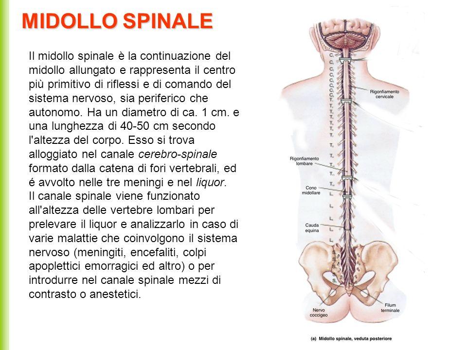 MIDOLLO SPINALE Il midollo spinale è la continuazione del midollo allungato e rappresenta il centro più primitivo di riflessi e di comando del sistema