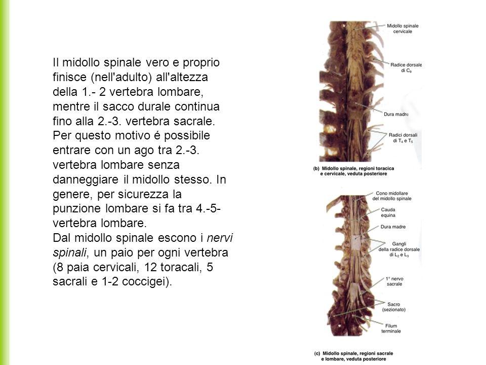 Il midollo spinale vero e proprio finisce (nell'adulto) all'altezza della 1.- 2 vertebra lombare, mentre il sacco durale continua fino alla 2.-3. vert