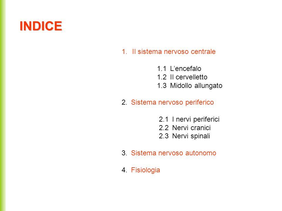1.Il sistema nervoso centrale 1.1 Lencefalo 1.2 Il cervelletto 1.3 Midollo allungato 2. Sistema nervoso periferico 2.1 I nervi periferici 2.2 Nervi cr