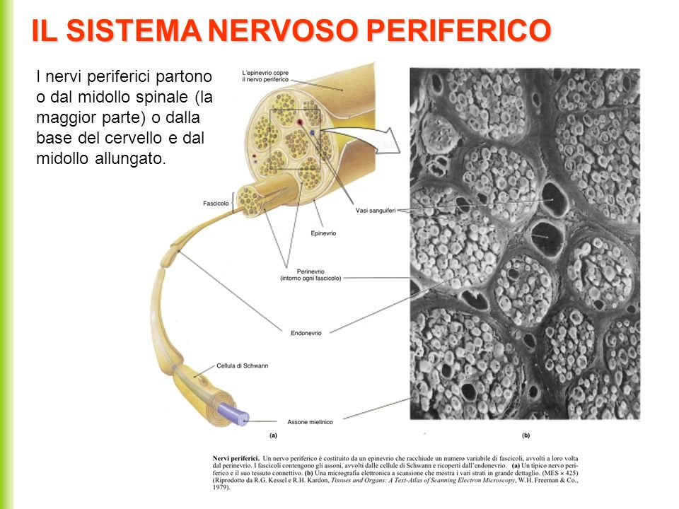 IL SISTEMA NERVOSO PERIFERICO I nervi periferici partono o dal midollo spinale (la maggior parte) o dalla base del cervello e dal midollo allungato.