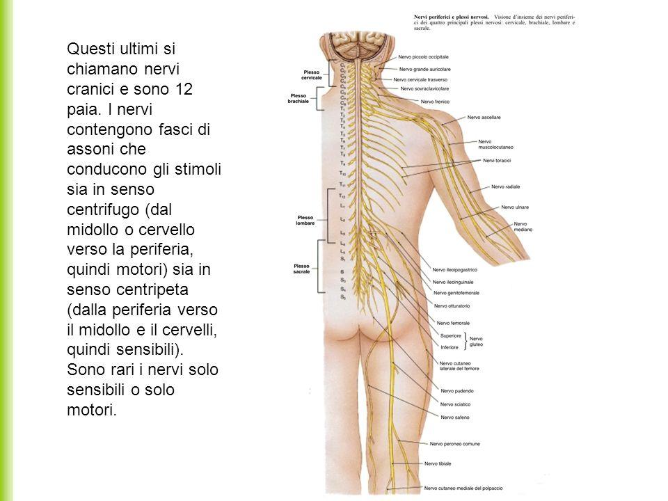 Questi ultimi si chiamano nervi cranici e sono 12 paia. I nervi contengono fasci di assoni che conducono gli stimoli sia in senso centrifugo (dal mido