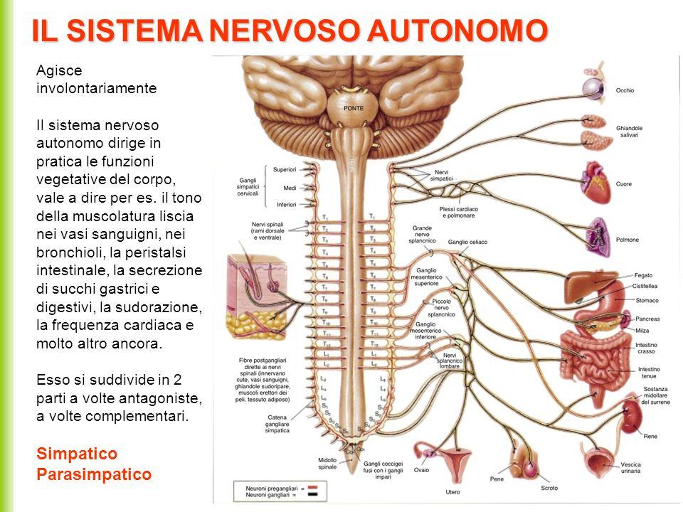 IL SISTEMA NERVOSO AUTONOMO Agisce involontariamente Il sistema nervoso autonomo dirige in pratica le funzioni vegetative del corpo, vale a dire per e
