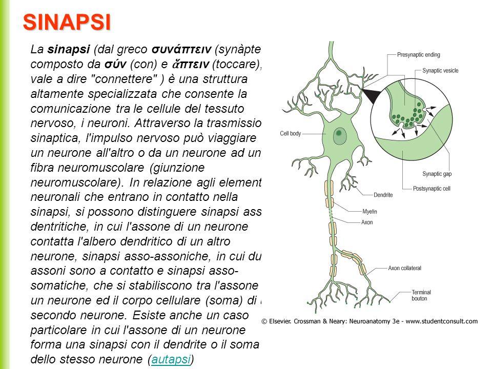 SINAPSI La sinapsi (dal greco συνάπτειν (synàptein), composto da σύν (con) e πτειν (toccare), vale a dire