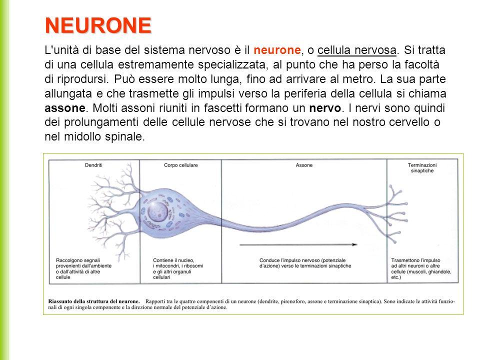 L'unità di base del sistema nervoso è il neurone, o cellula nervosa. Si tratta di una cellula estremamente specializzata, al punto che ha perso la fac
