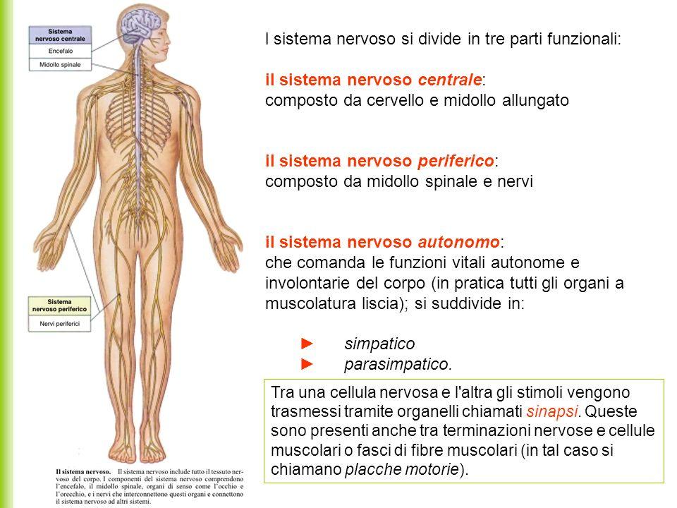 l sistema nervoso si divide in tre parti funzionali: il sistema nervoso centrale: composto da cervello e midollo allungato il sistema nervoso periferi