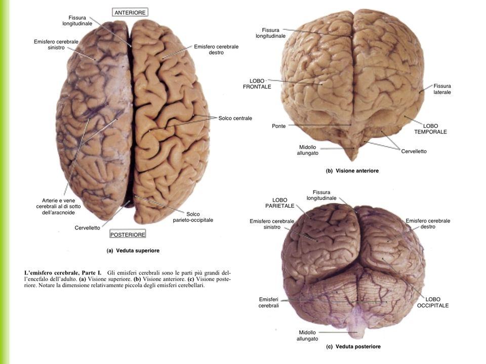 Sugli emisferi si possono distinguere (non anatomicamente) alcune zone di comando delle diverse funzioni: corteccia motoria, nel lobo frontale corteccia sensitiva in quello parietale, anteriormente zona dell udito zona della vista zona della parola, solo nell emisfero dominante (di solito destro nei mancini e sinistro nei destri).