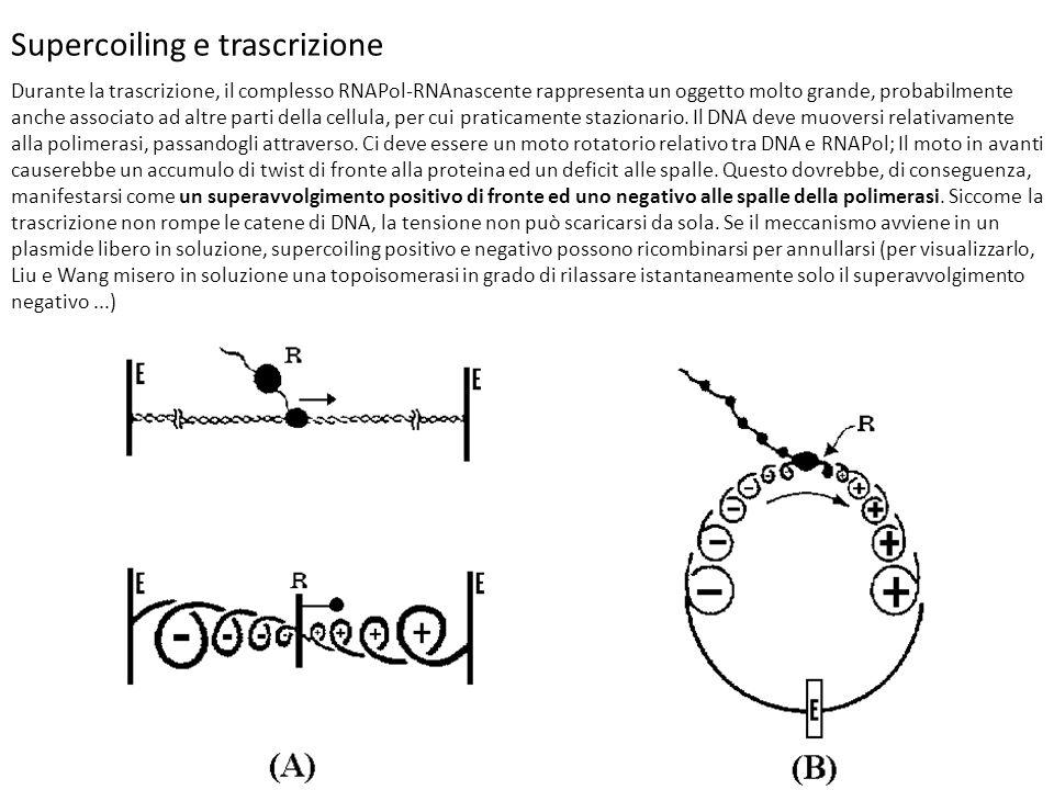 Supercoiling e trascrizione Durante la trascrizione, il complesso RNAPol-RNAnascente rappresenta un oggetto molto grande, probabilmente anche associat