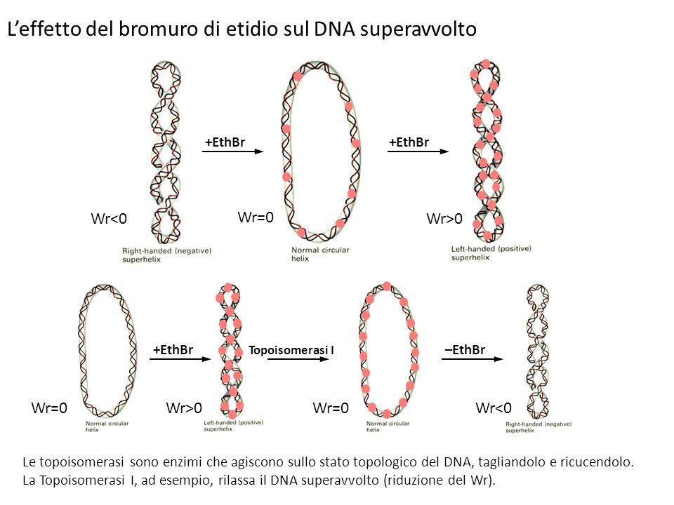Leffetto del bromuro di etidio sul DNA superavvolto +EthBr Topoisomerasi I –EthBr Le topoisomerasi sono enzimi che agiscono sullo stato topologico del