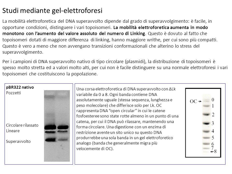 Studi mediante gel-elettroforesi La mobilità elettroforetica del DNA superavvolto dipende dal grado di superavvolgimento: è facile, in opportune condi