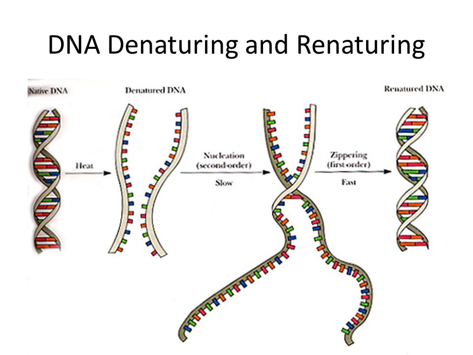 DNA Denaturing and Renaturing