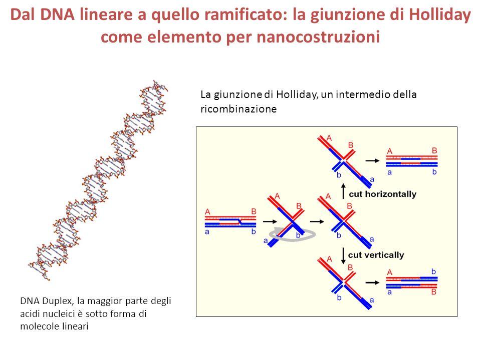 Dal DNA lineare a quello ramificato: la giunzione di Holliday come elemento per nanocostruzioni DNA Duplex, la maggior parte degli acidi nucleici è sotto forma di molecole lineari La giunzione di Holliday, un intermedio della ricombinazione