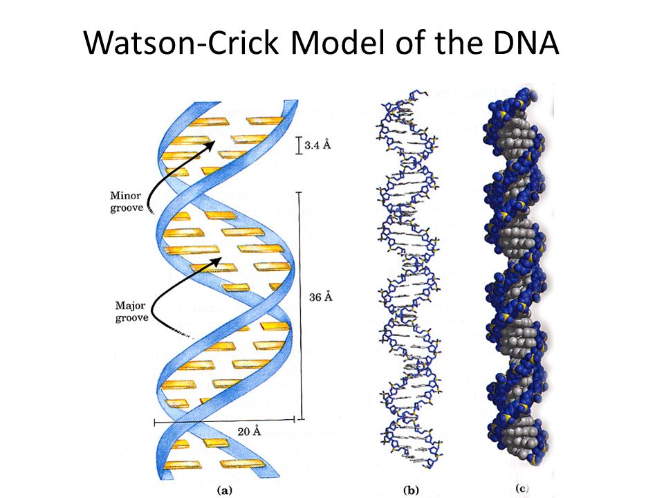 Watson-Crick Model of the DNA