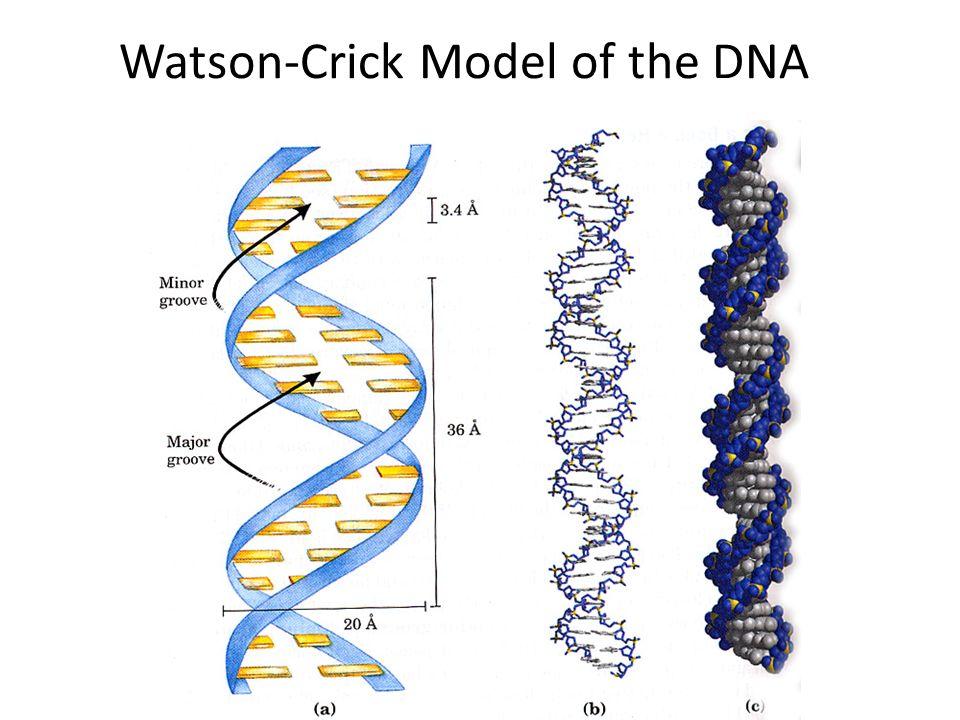 Watson-Crick Model of the DNA