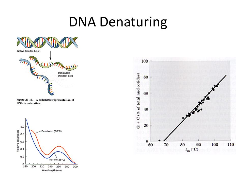 DNA Denaturing