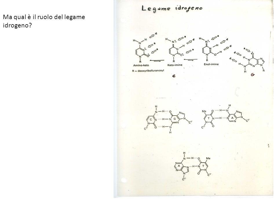 Ma qual è il ruolo del legame idrogeno