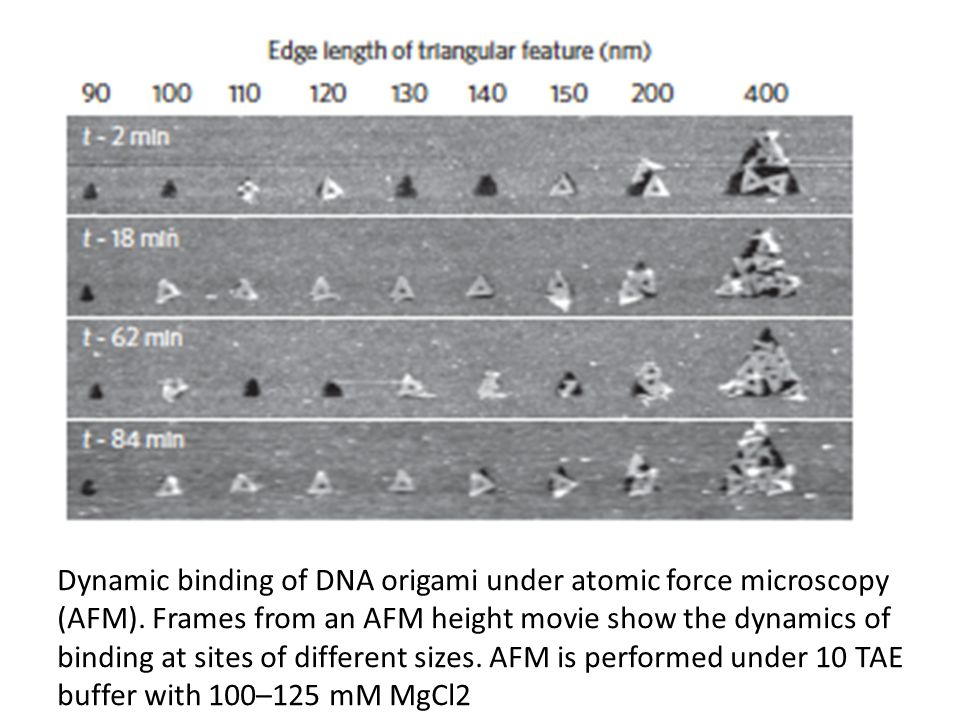 Dynamic binding of DNA origami under atomic force microscopy (AFM). Frames from an AFM height movie show the dynamics of binding at sites of different