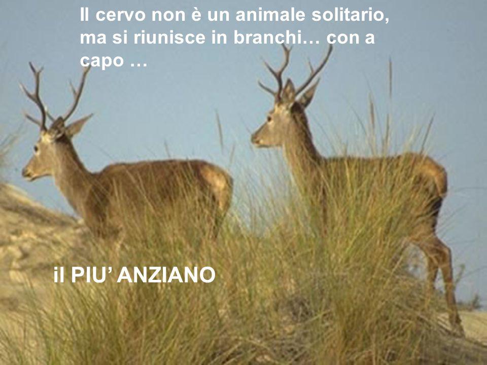 Il cervo non è un animale solitario, ma si riunisce in branchi… con a capo … il PIU ANZIANO