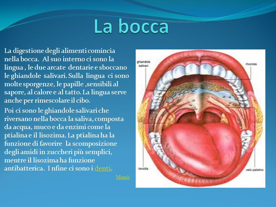 La digestione degli alimenti comincia nella bocca. Al suo interno ci sono la lingua, le due arcate dentarie e sboccano le ghiandole salivari. Sulla li