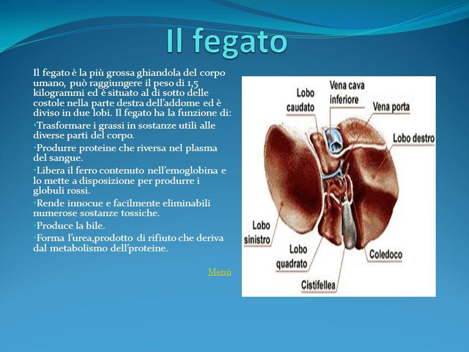 Il fegato è la più grossa ghiandola del corpo umano, può raggiungere il peso di 1,5 kilogrammi ed è situato al di sotto delle costole nella parte dest