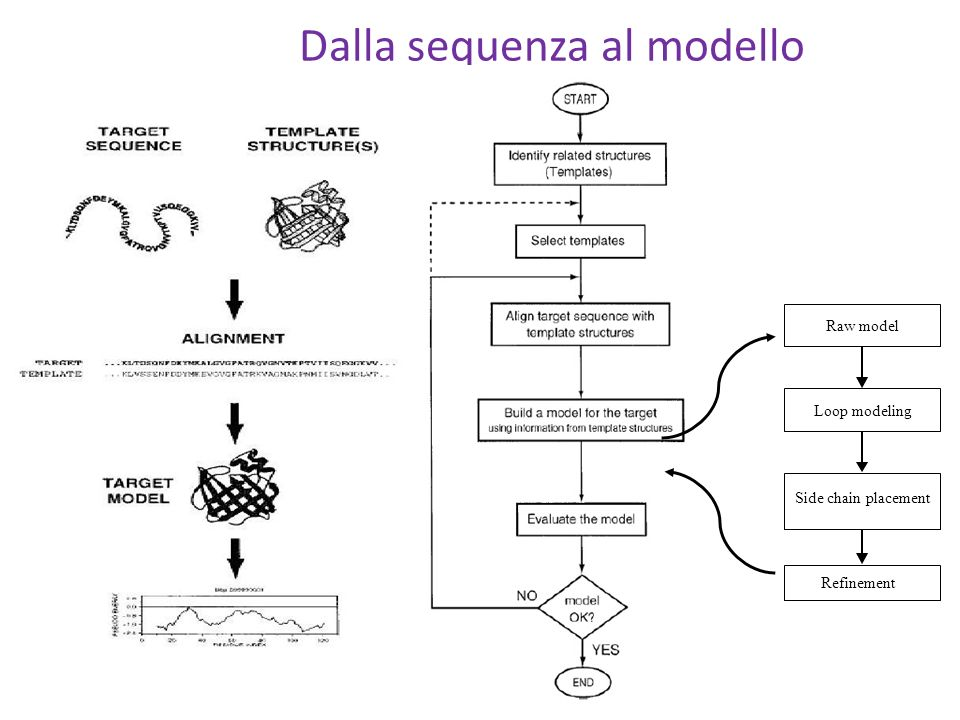 Dalla sequenza al modello Raw model Loop modeling Side chain placement Refinement