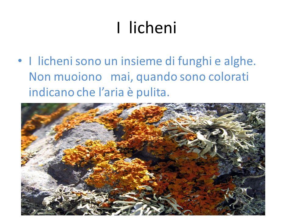 I licheni I licheni sono un insieme di funghi e alghe. Non muoiono mai, quando sono colorati indicano che laria è pulita.