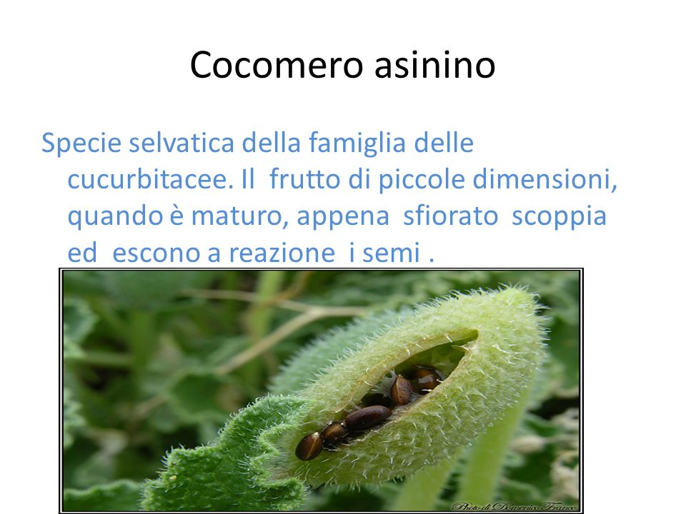 Cocomero asinino Specie selvatica della famiglia delle cucurbitacee. Il frutto di piccole dimensioni, quando è maturo, appena sfiorato scoppia ed esco