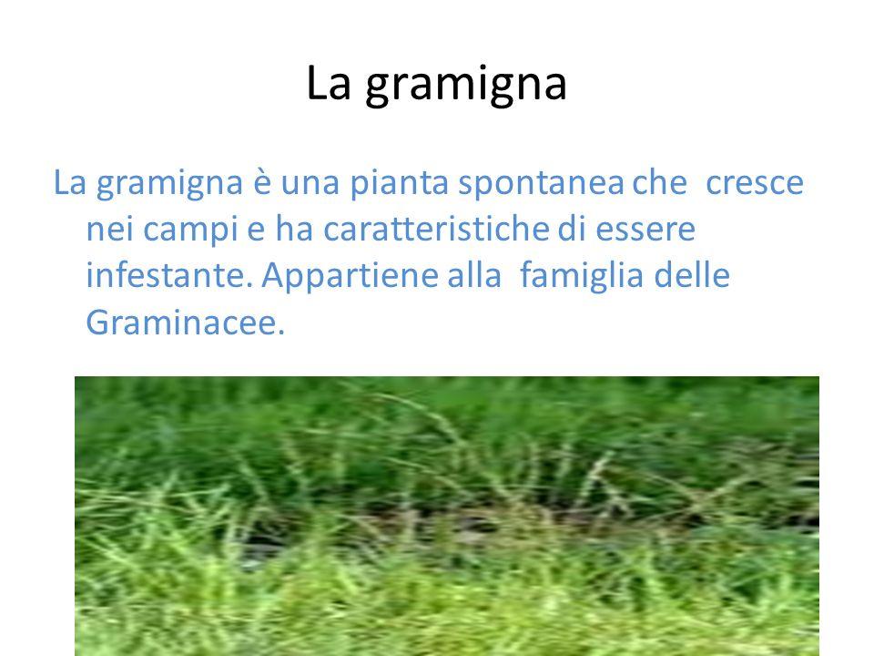 La gramigna La gramigna è una pianta spontanea che cresce nei campi e ha caratteristiche di essere infestante. Appartiene alla famiglia delle Graminac