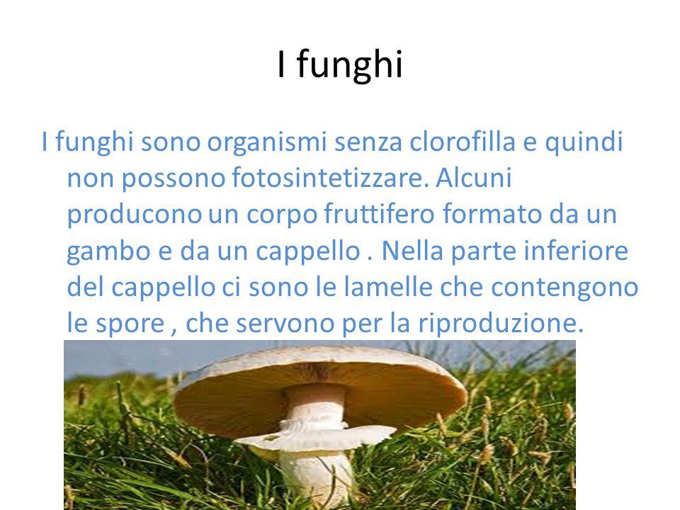 I funghi I funghi sono organismi senza clorofilla e quindi non possono fotosintetizzare. Alcuni producono un corpo fruttifero formato da un gambo e da