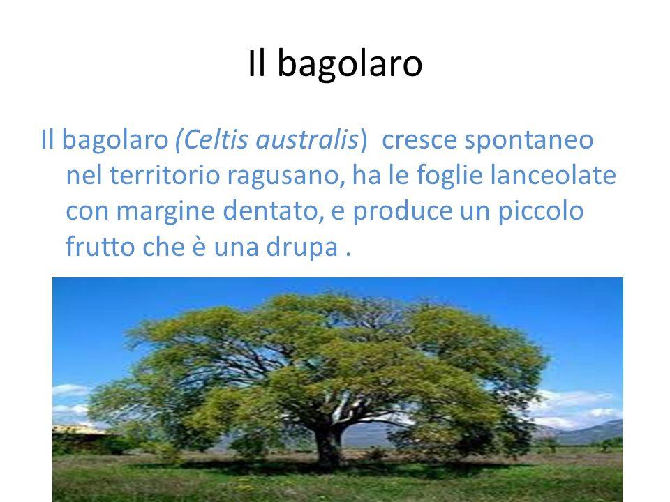 Il bagolaro Il bagolaro (Celtis australis) cresce spontaneo nel territorio ragusano, ha le foglie lanceolate con margine dentato, e produce un piccolo