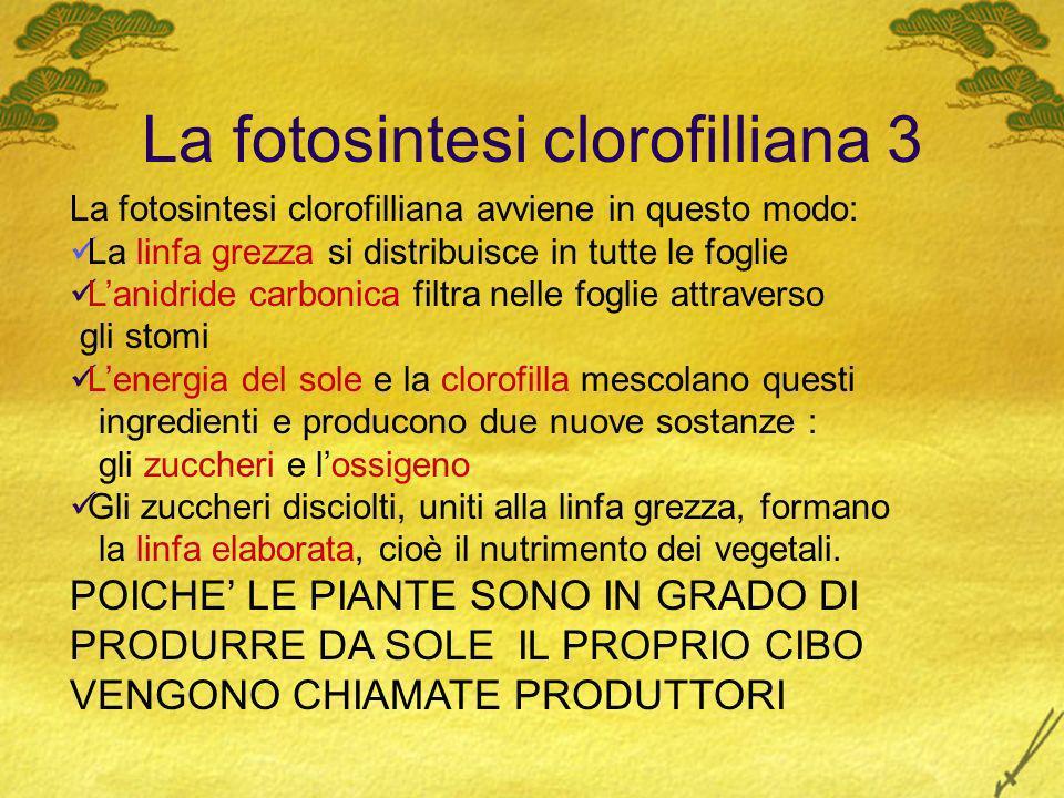 La fotosintesi clorofilliana 3 La fotosintesi clorofilliana avviene in questo modo: La linfa grezza si distribuisce in tutte le foglie Lanidride carbo