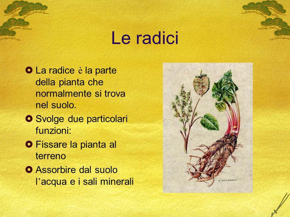 Le radici La radice è la parte della pianta che normalmente si trova nel suolo. Svolge due particolari funzioni: Fissare la pianta al terreno Assorbir