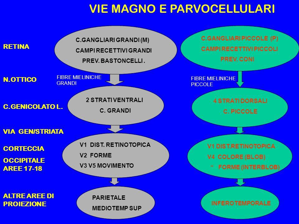 RETINA N.OTTICO C.GENICOLATO L. VIA GEN/STRIATA CORTECCIA OCCIPITALE AREE 17-18 ALTRE AREE DI PROIEZIONE C.GANGLIARI GRANDI (M) CAMPI RECETTIVI GRANDI