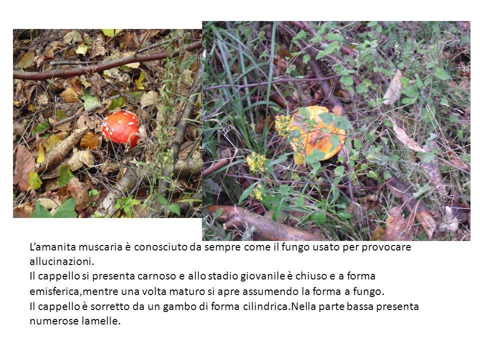 Lamanita muscaria è conosciuto da sempre come il fungo usato per provocare allucinazioni. Il cappello si presenta carnoso e allo stadio giovanile è ch