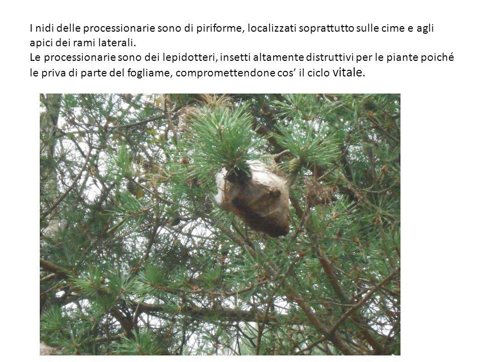I nidi delle processionarie sono di piriforme, localizzati soprattutto sulle cime e agli apici dei rami laterali. Le processionarie sono dei lepidotte
