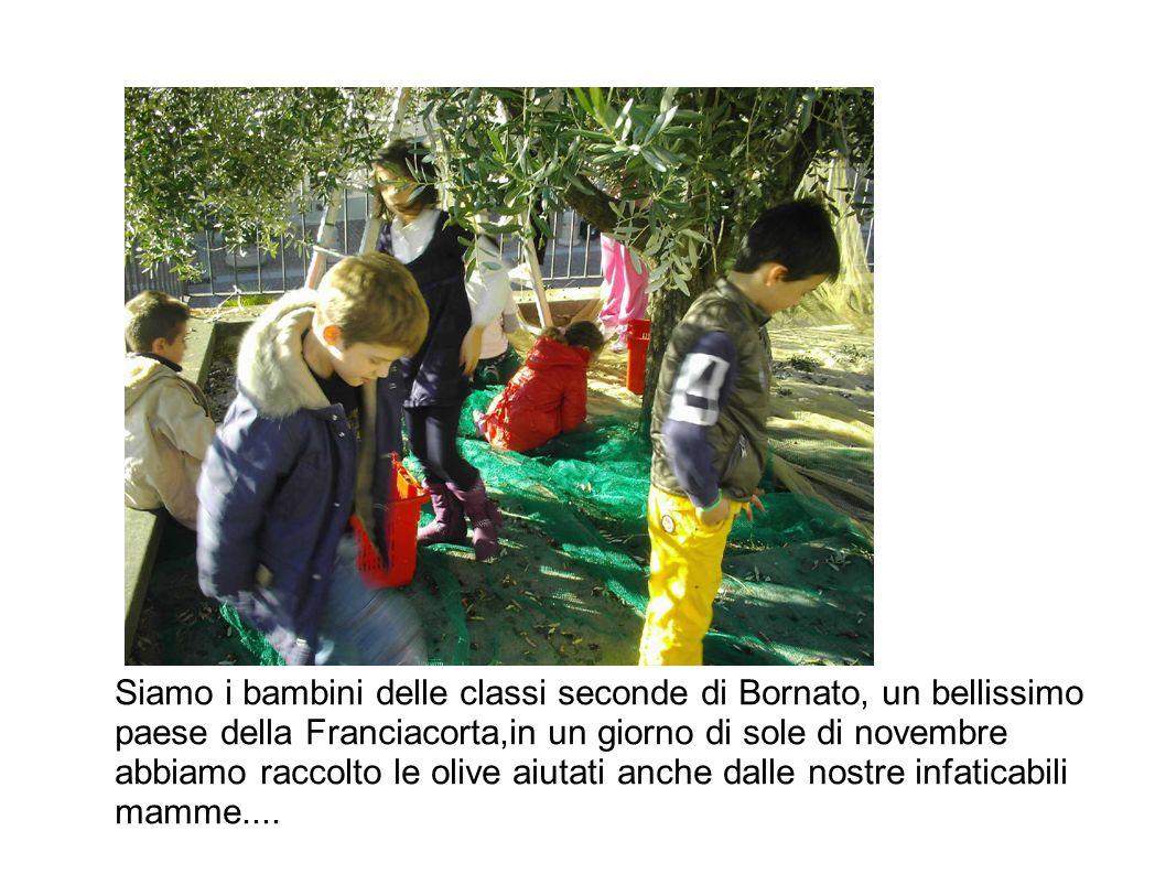 Siamo i bambini delle classi seconde di Bornato, un bellissimo paese della Franciacorta,in un giorno di sole di novembre abbiamo raccolto le olive aiutati anche dalle nostre infaticabili mamme....