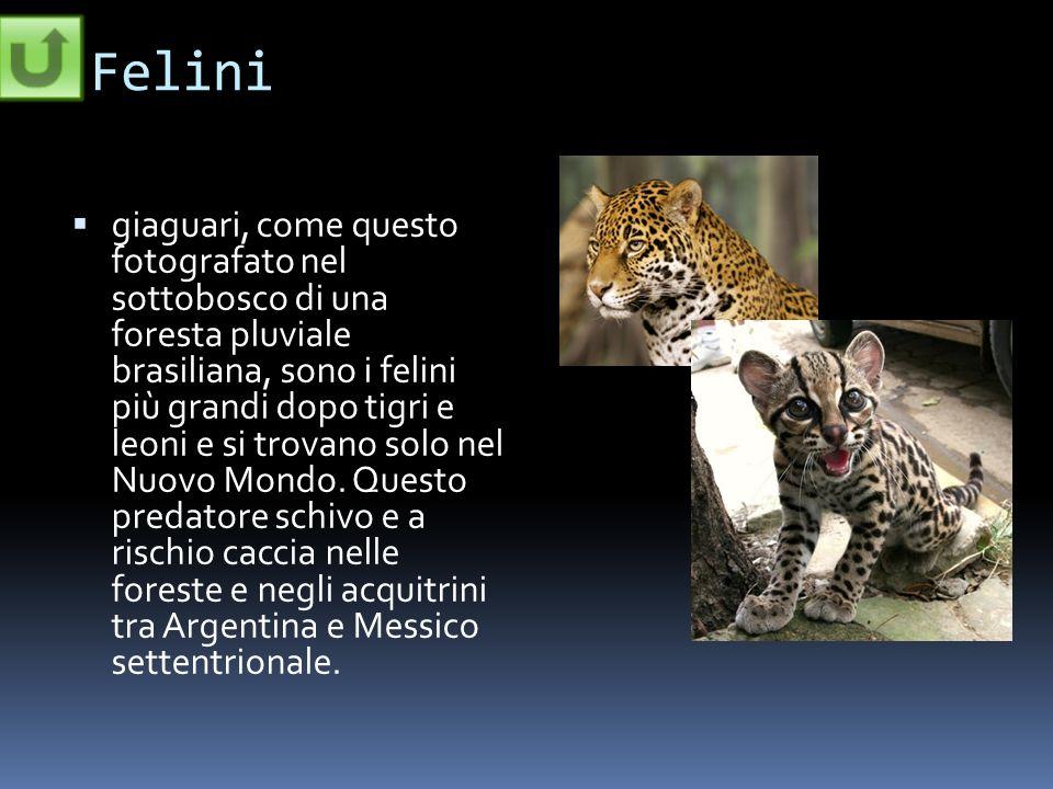 Felini giaguari, come questo fotografato nel sottobosco di una foresta pluviale brasiliana, sono i felini più grandi dopo tigri e leoni e si trovano s