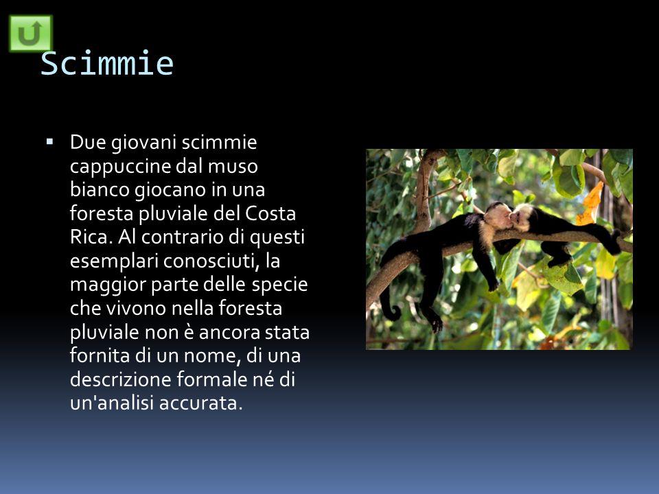 Scimmie Due giovani scimmie cappuccine dal muso bianco giocano in una foresta pluviale del Costa Rica. Al contrario di questi esemplari conosciuti, la