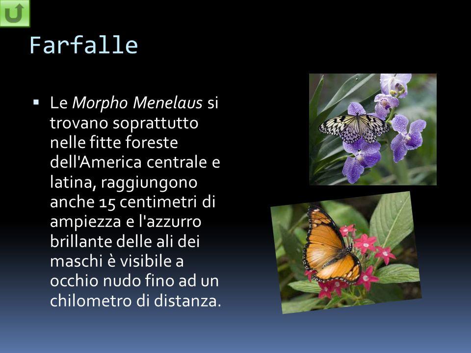 Farfalle Le Morpho Menelaus si trovano soprattutto nelle fitte foreste dell'America centrale e latina, raggiungono anche 15 centimetri di ampiezza e l