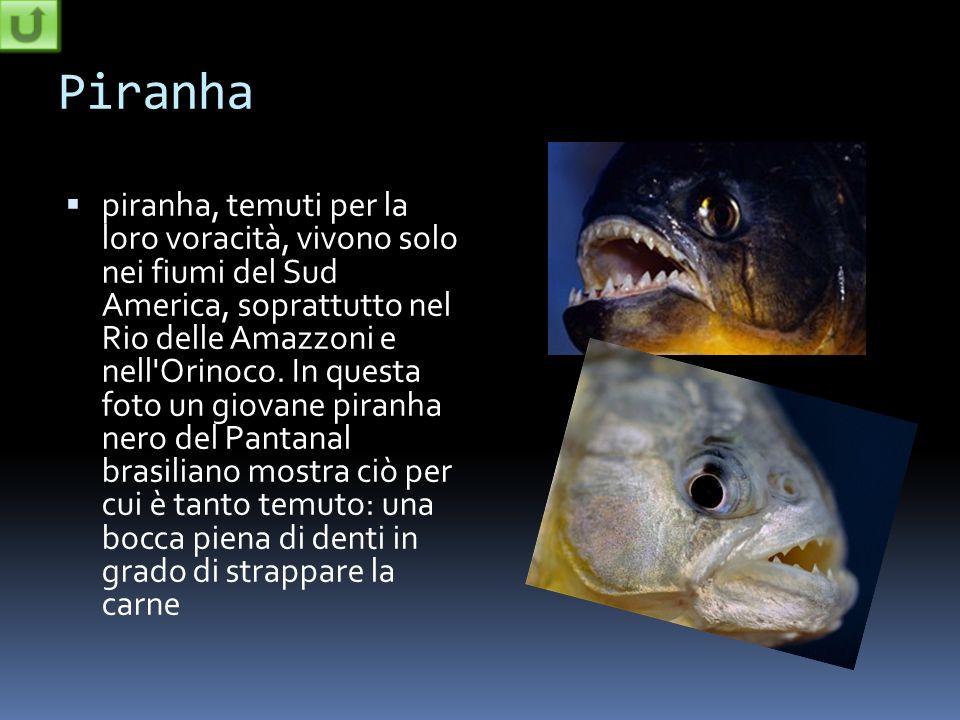 Piranha piranha, temuti per la loro voracità, vivono solo nei fiumi del Sud America, soprattutto nel Rio delle Amazzoni e nell'Orinoco. In questa foto