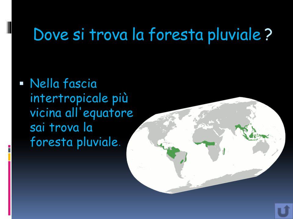 Dove si trova la foresta pluviale ? Nella fascia intertropicale più vicina all'equatore sai trova la foresta pluviale.