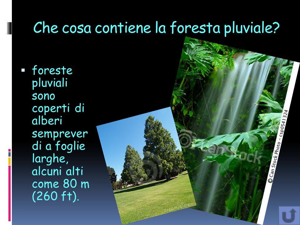 Che cosa contiene la foresta pluviale? foreste pluviali sono coperti di alberi semprever di a foglie larghe, alcuni alti come 80 m (260 ft).