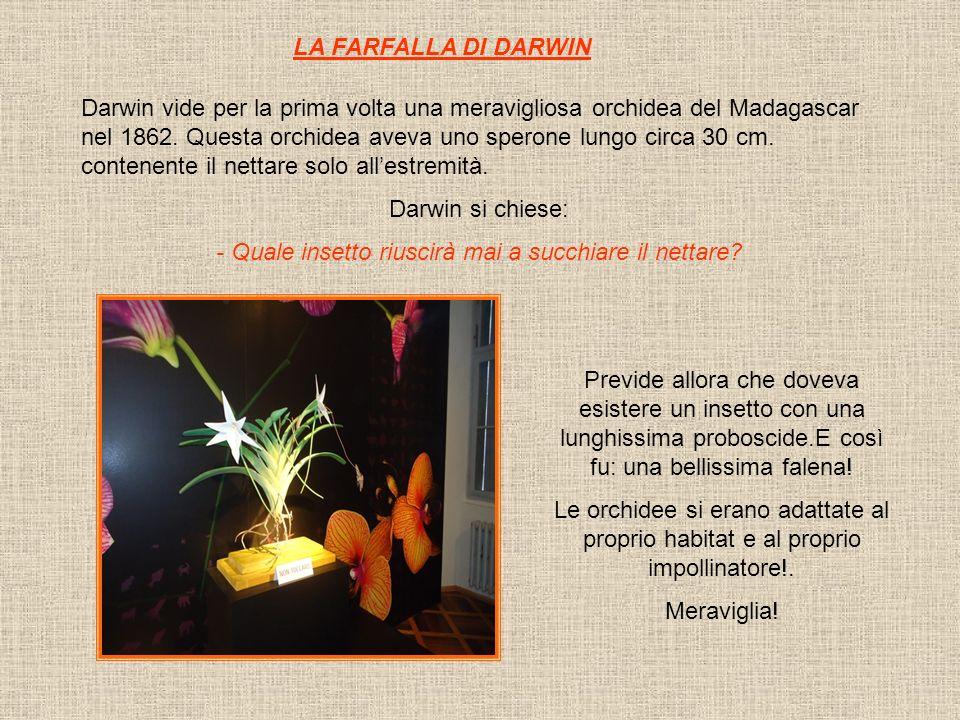 LA FARFALLA DI DARWIN Darwin vide per la prima volta una meravigliosa orchidea del Madagascar nel 1862. Questa orchidea aveva uno sperone lungo circa